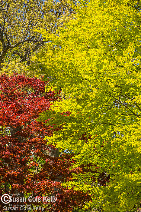 Red maple leaves at Mount Auburn Cemetery, Cambridge, Massachusetts, USA