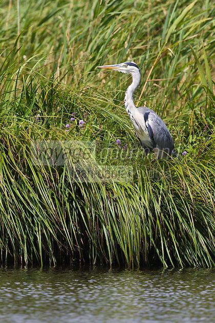 Europe/France/Pays de la Loire/44/Loire-Atlantique/Parc Naturel Régional de Brière/Saint-Lyphard: Port de Bréca - Héron gris dans le marais Briéron  //   France, Loire Atlantique, Parc Naturel Regional de Briere (Regional Natural Park of Briere), Saint Lyphard Port Breca Grey heron in the marsh Brieron
