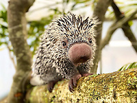 BNPS.co.uk (01202 558833)<br /> Pic: Longleat/BNPS<br /> <br /> 'Fantastic Beasts' can actually now be found...At the Longleat Safari Park.<br /> <br /> This prickly customer, looking just like a baby Niffler from the hit Eddie Redmayne movie Fantastic Beasts, is actually a young Prehensile-tailed porcupine (Coendou prehensilis) recently arrived at the Wiltshire Safari Park.<br /> <br /> The odd looking South American creature spends nearly all of it's life in trees, deploying its prehensile tail as a fifth hand in the safety of the treetops.