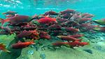 USA, Alaska, Katmai National Park, Sockeye salmon (Oncorhynchus nerka)