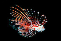 The toxic spines of this spotfin lionfish, Pterois antennata, are to be avoided.  Micronesia.  fish vertibrate yap underwater marine