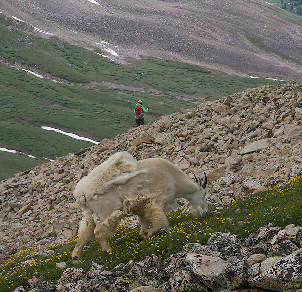 Hiker and mountain goat, Mt Democrat, Colorado.