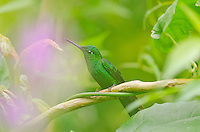Male Green-crowned Brilliant Hummingbird (Heliodoxa jacula).  Found in the highland tropical forests from Costa Rica to western Ecuador.  This one photographed in Costa Rica.