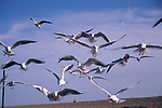 A3A7YC Sea gulls flying around a beach looking for scraps of food