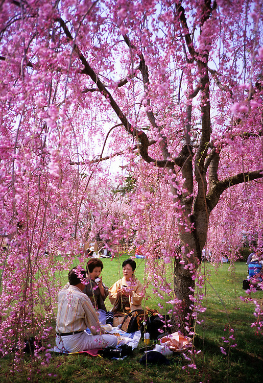Japanese women in Kimono enjoy picnic at the Hirosaki Castle Park.