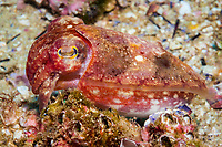 reaper cuttlefish, Sepia mestus, Fish Rock, South West Rocks, New South Wales, Australia, South Pacific Ocean