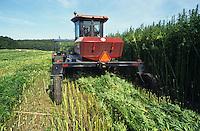 GERMANY, harvest of hemp plant for use of fibres for textiles / DEUTSCHLAND, MV, Ernte eines Hanffeld mit Schwadmaeher, die Fasern der THC-freien Hanfpflanze werden fuer Textilien verwendet