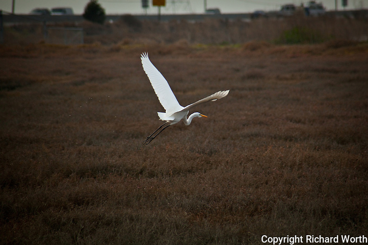 With San Mateo Bridge traffic as backdrop, this Great Egret takes flight at the Hayward Shoreline, near the interpretive center.
