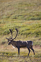 Barren ground caribou in velvet antlers on the tundra vegetation in Denali National Park, Interior, Alaska.