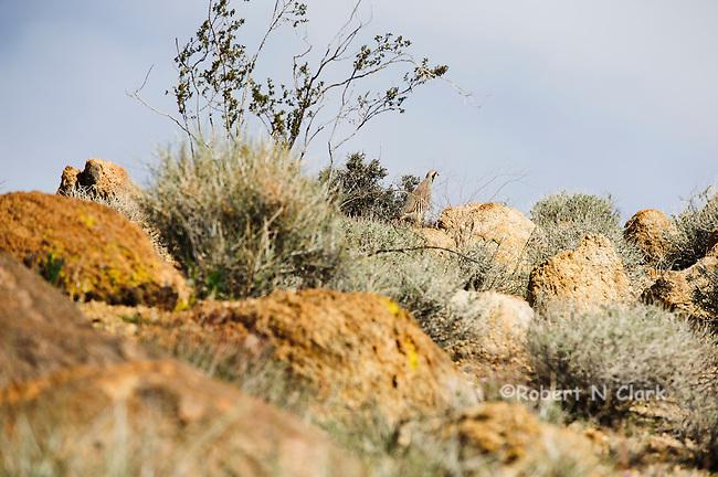Wild Chukar in the Mojave Desert of California