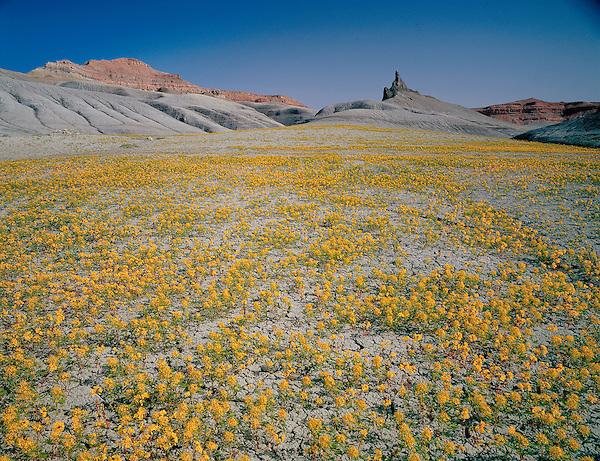Desert flowers near Hanksville, Utah,