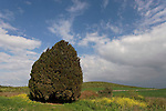 Israel, Cypress tree (Cupresus Sempervirens) in Menashe Heights
