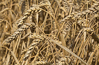 Spring Wheat ready for harvest<br /> Picture Tim Scrivener 07850 303986<br /> &hellip;.covering agriculture in the UK&hellip;.