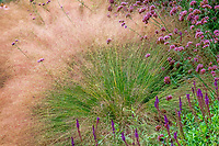 Muhlenbergia reverchonii, Ruby muhly grass and Caradonna Sage; Sunset gardens, Cornerstone, Sonoma