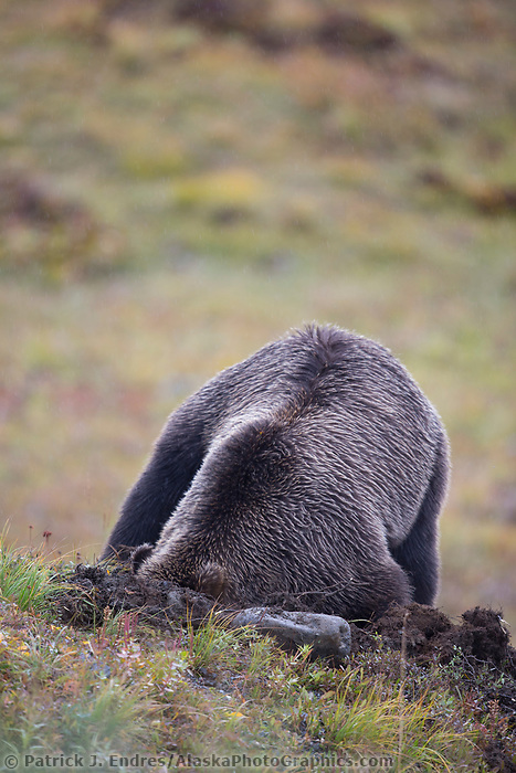 Grizzly bear digging for a ground squirrel in the tundra, Denali National Park, Alaska.