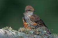 Vermillion Flycatcher, Pyrocephalus rubinus,female in nest with young, Lake Corpus Christi, Texas, USA