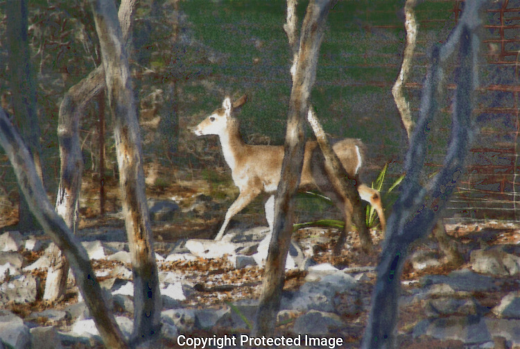 Illustration of White Tail Deer running a fence line in Kerrville TX