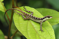 .Anole Lizard (Anolis notopholis), adult on leaf, San Cipriano Reserve, Cauca, Colombia