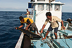 Mother boat with ice in the compartments  collects a yellowfin tuna from  the smaller outrigger boats.
