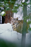 Canada Lynx (Lynx canadensis).  North America.  Winter.