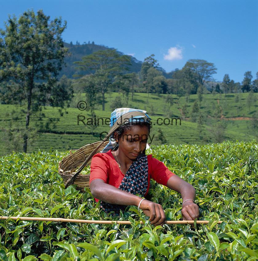 Sri Lanka, near Nuwara Eliya: Tea Plantation - Tea plucker | Sri Lanka, bei Nuwara Eliya: Teeplantage - Teepflueckerin