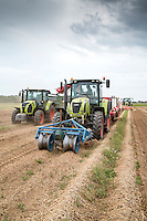 Harvesting daffodil bulbs - Lincolnshire, June
