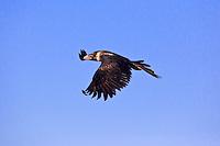 Wedge-Tailed Eagle, near Karumba, Queensland, Australia