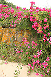 Pink beach roses on stone wall. Cape Cod, MA