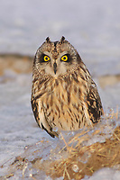 Adult Short-eared Owl (Asio flammeus) with erect ear tufts. Jefferson County, New York. March.
