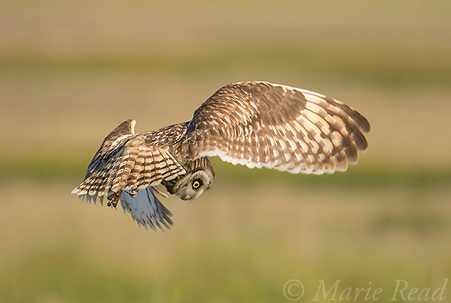 Short-eared Owl (Asio flammeus), adult hovering in search of prey, northern Utah, USA. (Digitally retouched - distraction removed)