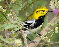 Black-throated Green Warbler, South Padre Island, TX