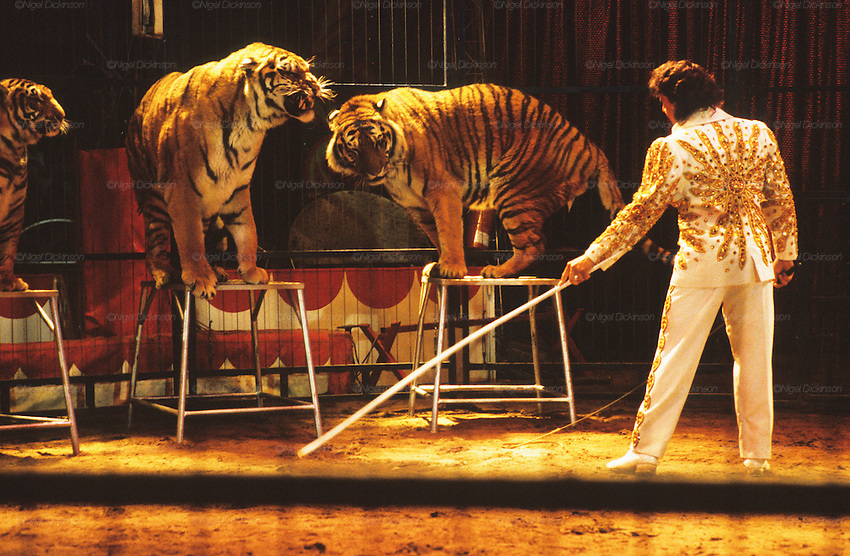 """Bengal tigers (P. tigris tigris). The largest cat species, reaching a total body length of up to 3.3 metres. Circus show during the Feria de Sevilla. Some view the use of tigers land other big cats in the circus ring as cruel and  coercive. Others enjoy watching these feline giants at close quarters. The truth behind that is there is many animals endure cruelty for human entertainment. ..The Feria de abril de Sevilla, """"Seville April Fair"""" dates back to 1847. During the 1920s, the feria reached its peak and became the spectacle that it is today. It is held in the Andalusian capital of Seville in Spain. The fair generally begins two weeks after the Semana Santa, Easter Holy Week. The fair officially begins at midnight on Monday, and runs six days, ending on the following Sunday."""