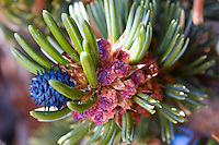 Uniquely colored pine cones of the bristlecone pine tree in the White Mountains of CA