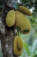 Asie/Malaisie/Bornéo: Fruit du Jacquier sur arbre-fruit de Jacques