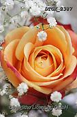 Gisela, FLOWERS, BLUMEN, FLORES, photos+++++,DTGK2387,#f#, EVERYDAY