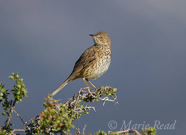 Sage Thrasher (Oreoscoptes montanus) in spring, Mono Lake Basin, California, USA