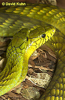 0423-1102  Mating Snakes, Pair of Western Green Mamba (West African Green Mamba) in Copulation, Dendroaspis viridis  © David Kuhn/Dwight Kuhn Photography