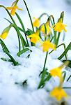 Close shot of a clump of vivid yellow, miniature Tete-a-tete daffodils surrounded by a spring snowfall.