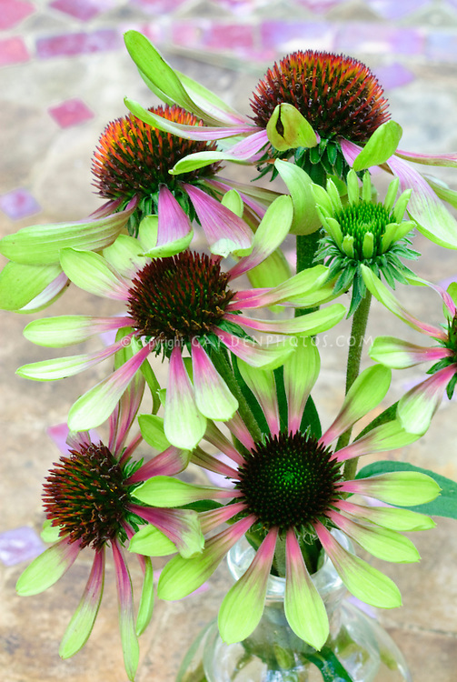 echinacea purpurea green envy plant flower stock. Black Bedroom Furniture Sets. Home Design Ideas