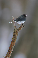 Adult Dark-eyed Junco (Junco hyemalis) of the slate-colored form. Tompkins County, New York. February.