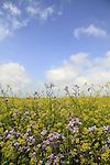 Golan Heights, Mustard flowers at Khan Juhader