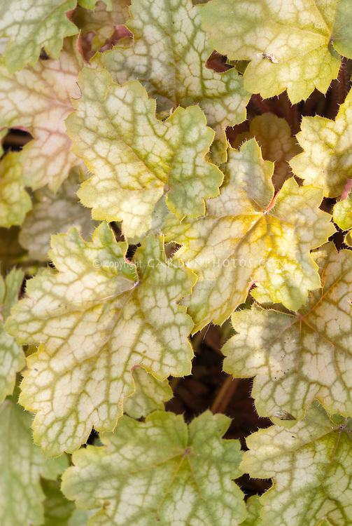Heuchera 'Ginger Ale' foliage garden plant showing many mottled leaves in September colors