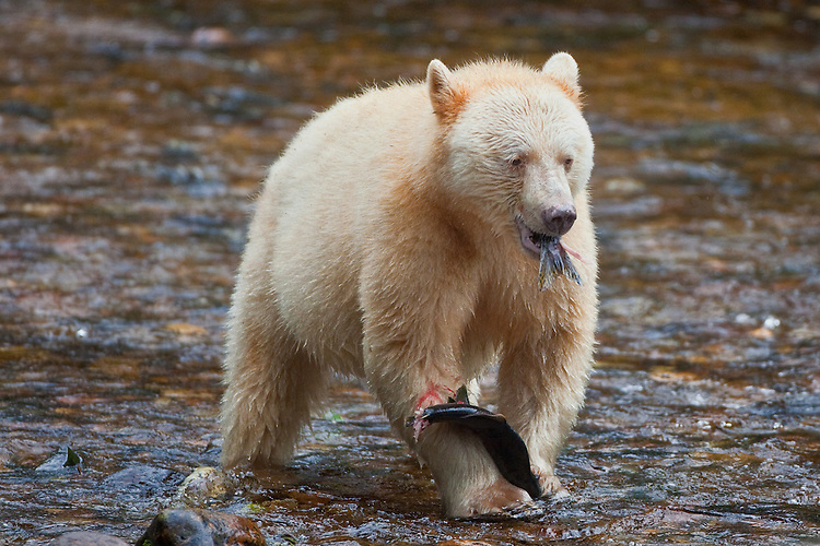 "Kermode ""Spirit"" Bear eating a Pink Salmon"