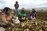 LEBANON Baalbek in Beqaa valley, syrian refugee work as saisonal worker, potato harvest  / LIBANON Baalbek in der Bekaa Ebene, syrische Fluechtlinge arbeiten als Erntehelfer, Kartoffel Ernte