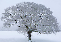 A beautiful tree covered in a dusting of fresh snow stands alone in a field near the village of Osmotherley, the North Yorkshire Moors, England.
