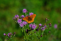 Orange and black butterfly on purple thistle.