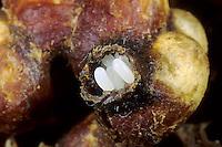 Ackerhummel, Acker-Hummel, Hummel, Nest, Hummelnest, Ei, Eier, Einäpfchen, Bombus pascuorum, syn. Bombus agrorum, Megabombus pascuorum floralis, common carder bee