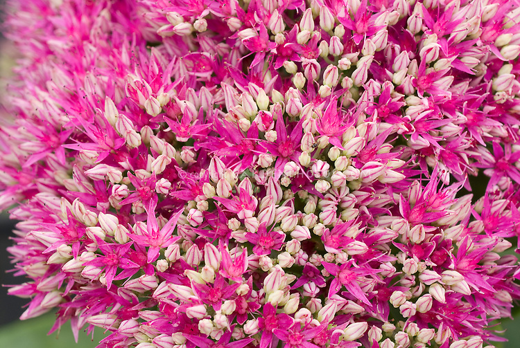 Sedum spectabile 'Brilliant' in pink flowers, perennial blooming plant