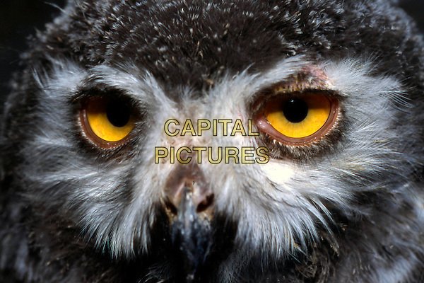 Snowy Owl - Bubo scandiacus  snow owl owls bird animal animals feathers wings .CAP/CAV.©Luca Cavallari/Capital Pictures.