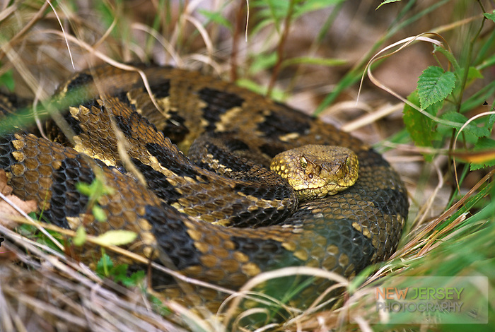 Eastern Timber Rattlesnake, Highlands, New Jersey